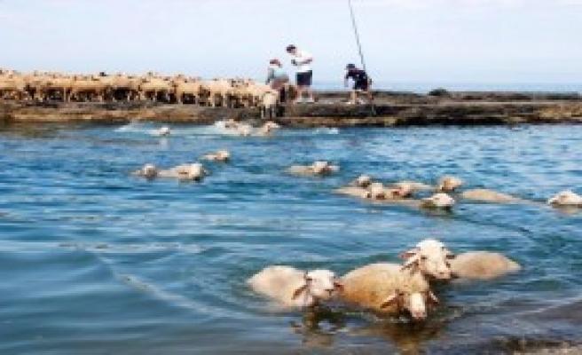 Koyunlar Denizde Yıkandı