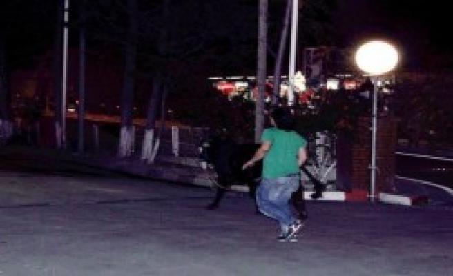 Kurbanlık Dana Kaçtı Sahibi Kovaladı