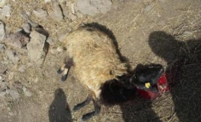 Kurt Sürüsü 100 Koyunu Telef Etti
