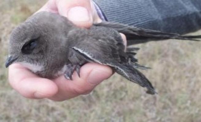 Ebabil Kuşu Doğaya Salındı