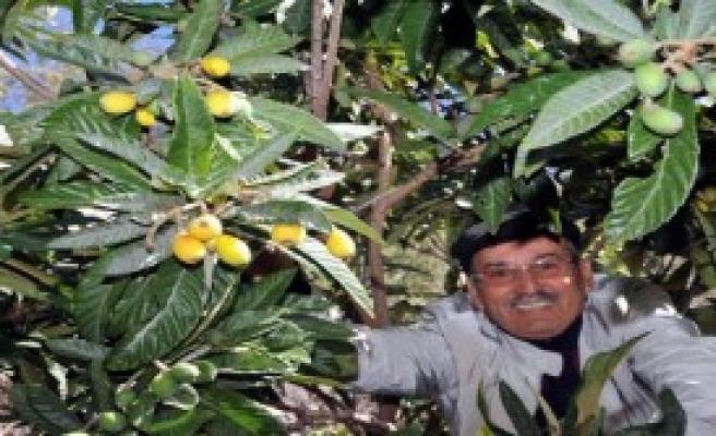 Malta Eriği Kış Ortasında Meyve Verdi