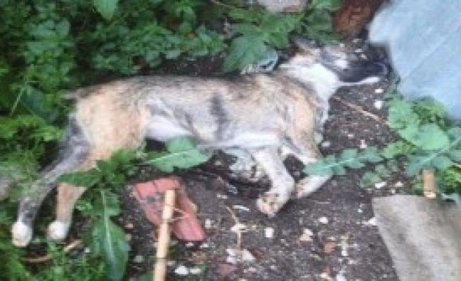 10 Köpek Zehirlenerek Katledildi