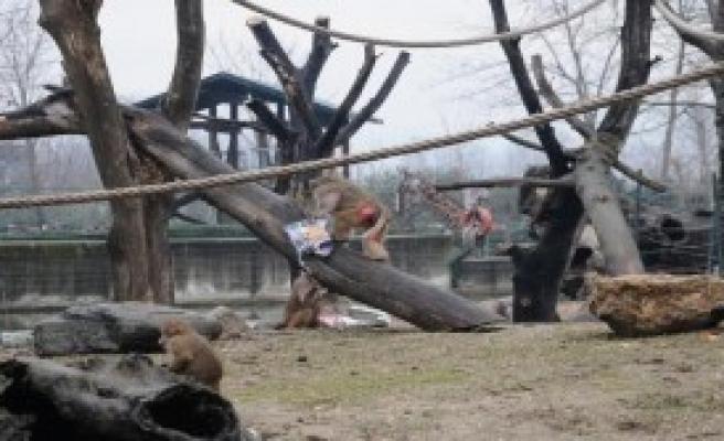 Maymunlara Sevgililer Günü Sürprizi
