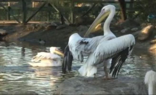 Pelikanların Yemek Keyfi