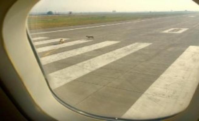 Piste Çıkan Köpekler Uçağı Pas Geçirdi