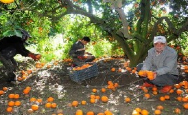 Portakalın Kilosu Bahçede 6 Kuruşa Düştü