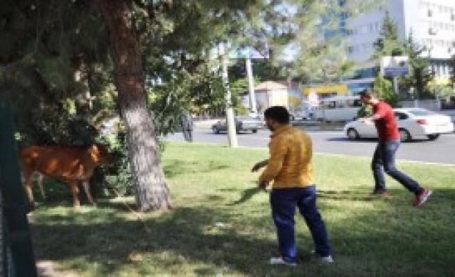 Kaçan İnek 4 Kişiyi Yaraladı