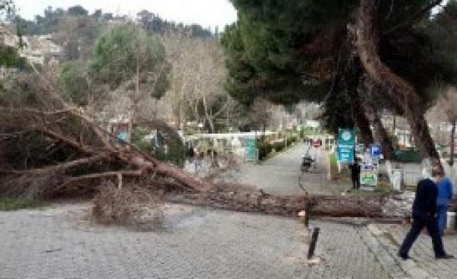 Şiddetli Rüzgar Aydın'da Ağaç Devirdi