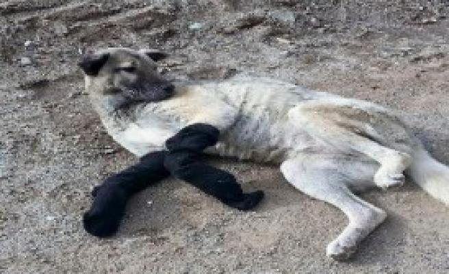 Sokaktaki Yaralı Köpeğe Sahip Çıktı