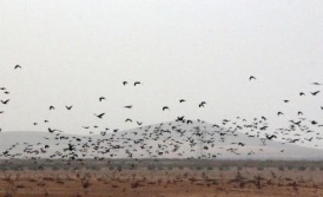Suriye Sınırını Sığırcık Kuşları İstila Etti
