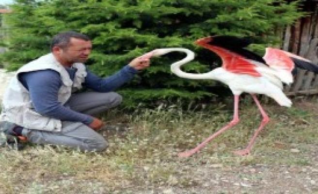 Tedavisi Tamamlanan Flamingo, Burdur Gölü'ne Bırakıldı