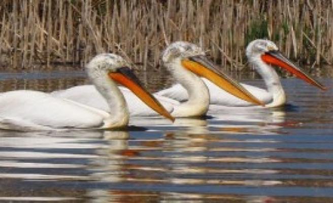 Tepeli Pelikanlar Koruma Altına Alındı