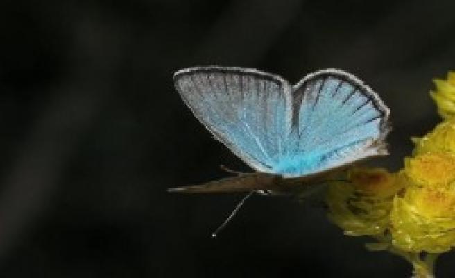 Türkiye'de Yeni Kelebek Türü Bulundu