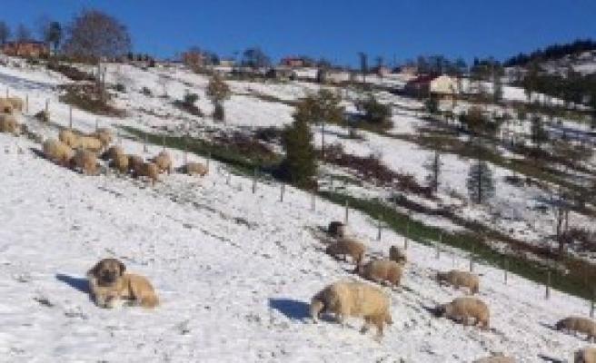 Yaylada Koyunlar Aç Kaldı