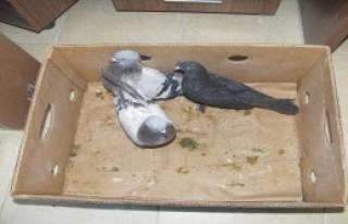 Güvercin Hırsızı Yakalandı