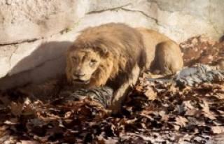 Kendisini Aslanların Önüne Attı
