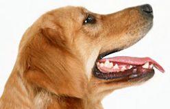 Köpeklerin Diş Yapısı Nasıldır?
