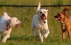 Köpeklerde Ehrlichiosis Hastalığı