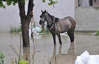 Ağaca bağlı at selde kaldı