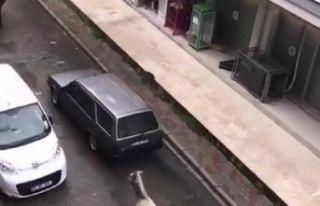 Otomobilinin arkasına atı bağlayan sürücüye...
