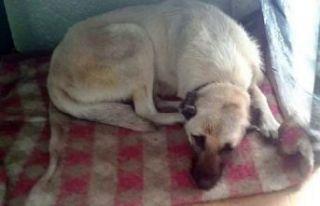 Şiddet gösterdiği köpek kör ve sağır oldu!