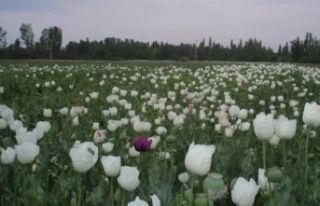 Hindistan'a haşhaş tohumu ihracatı tekrar...