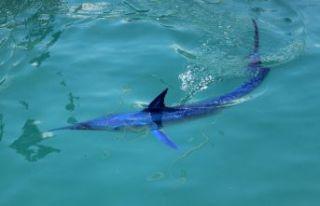 Dünyanın en hızlısı! Mavi yelken balığı Kemer'de...