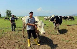 Süt üreticileri, ineklerini kasaplara satıyor