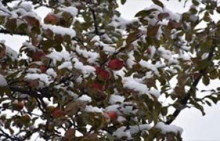 Elmalar Kar Altında Kaldı