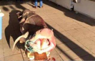 Ege'de Dev Köpek Balığı Yakalandı