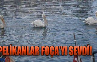 Pelikanlar Foça'yı Sevdi