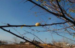 Kışın Ortasında Meyve Verdi
