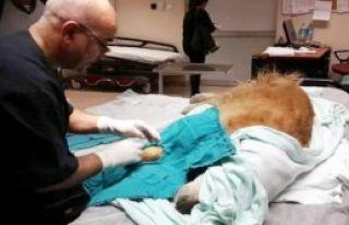 Hastane Acil Servisinde Köpek Ameliyatına İnceleme