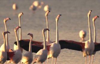 İzmir Körfezi'nde flamingolardan kur dansı