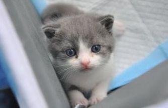 Çin'in ilk klonlanmış kedisi 'Garlic' !