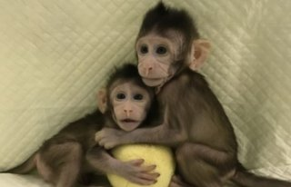 Dünyanın ilk klon maymunları