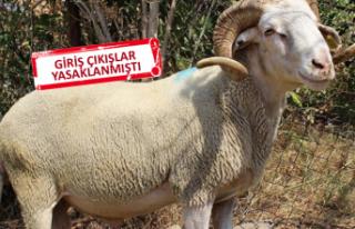 İzmir'de 25 koçun vebadan öldüğü kesinleşti!