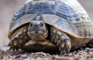 Kaplumbağa embriyoları cinsiyetlerini kendileri...