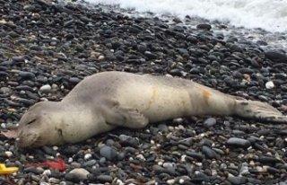 Kıyıya vuran yaralı Akdeniz fokunun tedavi edilmesini...