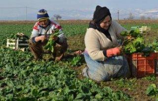 2 bin 500 dönüm ekili ıspanak tarlada kaldı