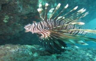 Akdeniz'deki Zehirli Balık Türleri Artıyor