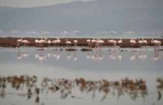 Yeni Konukları Flamingolar