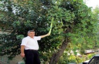 Armut Ağacında 1 Metrelik Kabak