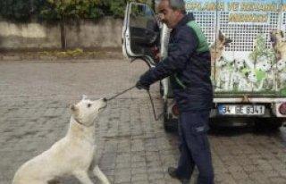 İslahiye'de Sokak Köpekleri Toplanıyor