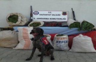Gaziantep'te 138 Kilo Esrar Ele Geçirildi