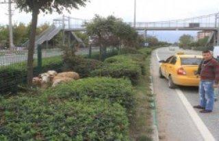 4 Koçun Peşine Taksiyle Düştü