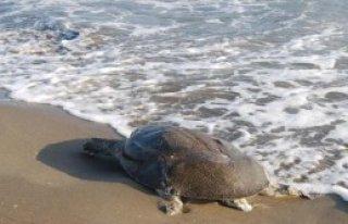 Ölüleri Sahile Vurdu