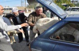 Otomobilde Kurbanlık Koyunlarla Yolculuk