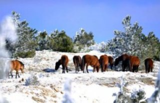 Yılkı Atlarına Kısırlaştırma Önlemi