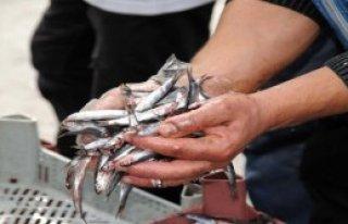 Tokatlı Balıkçı, 2 Ton Hamsiyi Ücretsiz Dağıttı